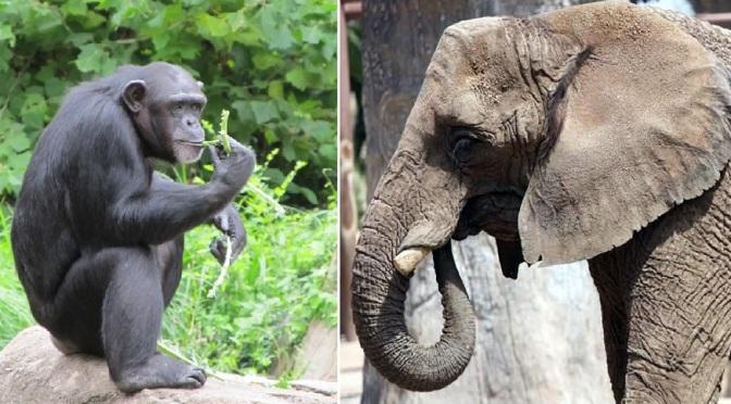 Chimpancés o Elefantes